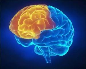 Cerveau-préfrontal-stress